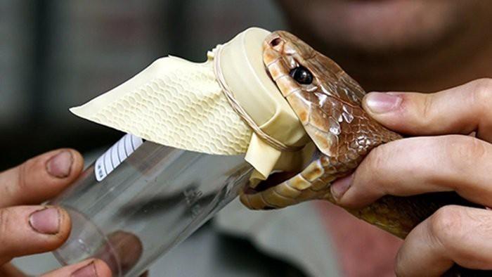Nọc độc rắn hổ mây - loại rắn độc dài nhất thế giới tàn phá cơ thể người nhanh tới mức nào - Ảnh 3.