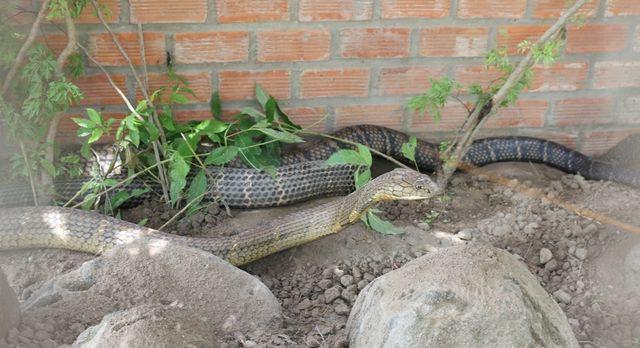 Sẽ tịch thu cặp rắn hổ mây khủng bắt được ở núi Cấm - Ảnh 2.