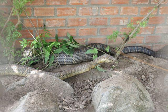 Sẽ tịch thu cặp rắn hổ mây khủng bắt được ở núi Cấm - Ảnh 3.