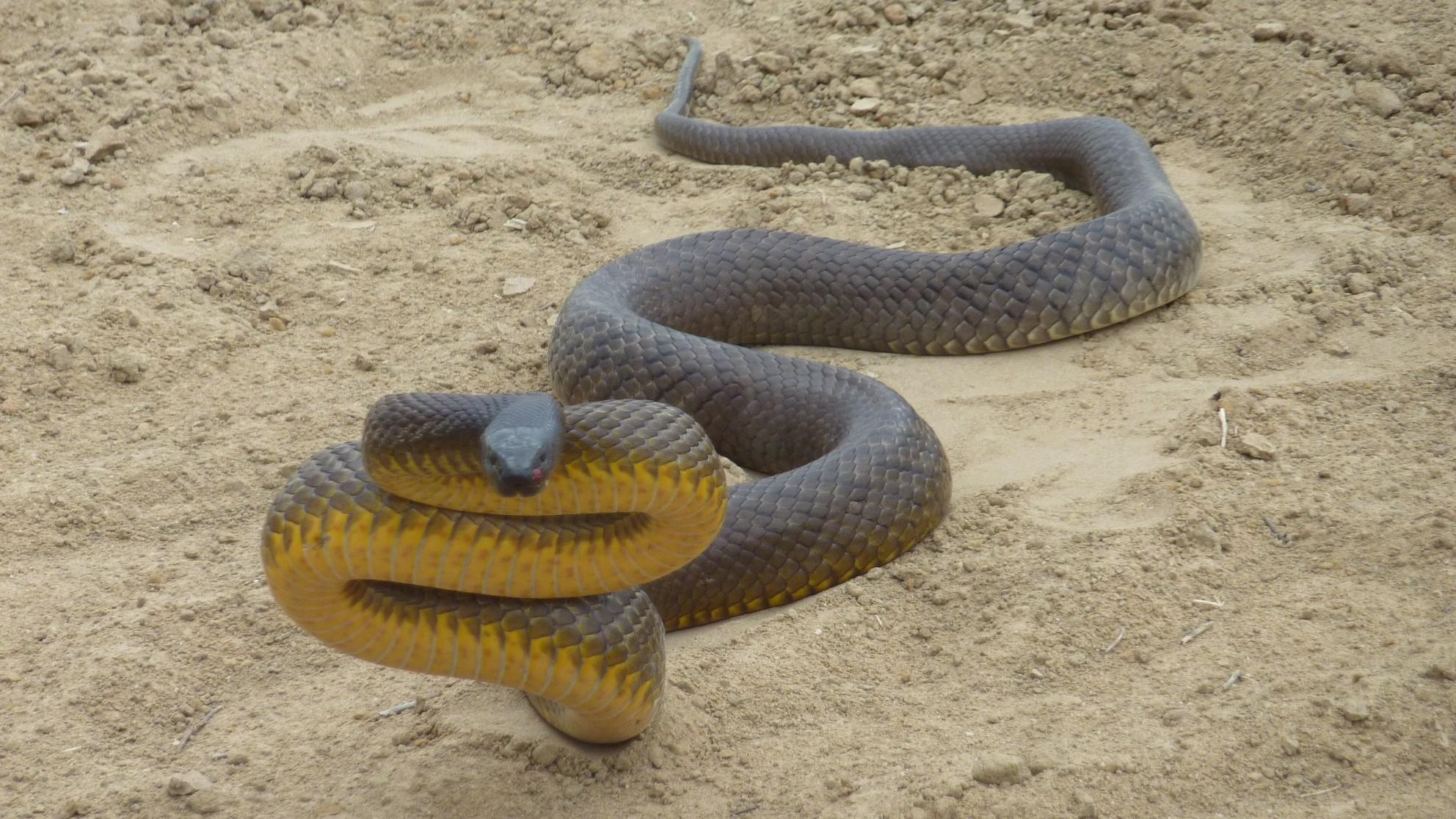 Đây mới là loài rắn độc nhất thế giới: Nọc độc trong 1 vết cắn có thể giết 100 người đàn ông trưởng thành - Ảnh 4.