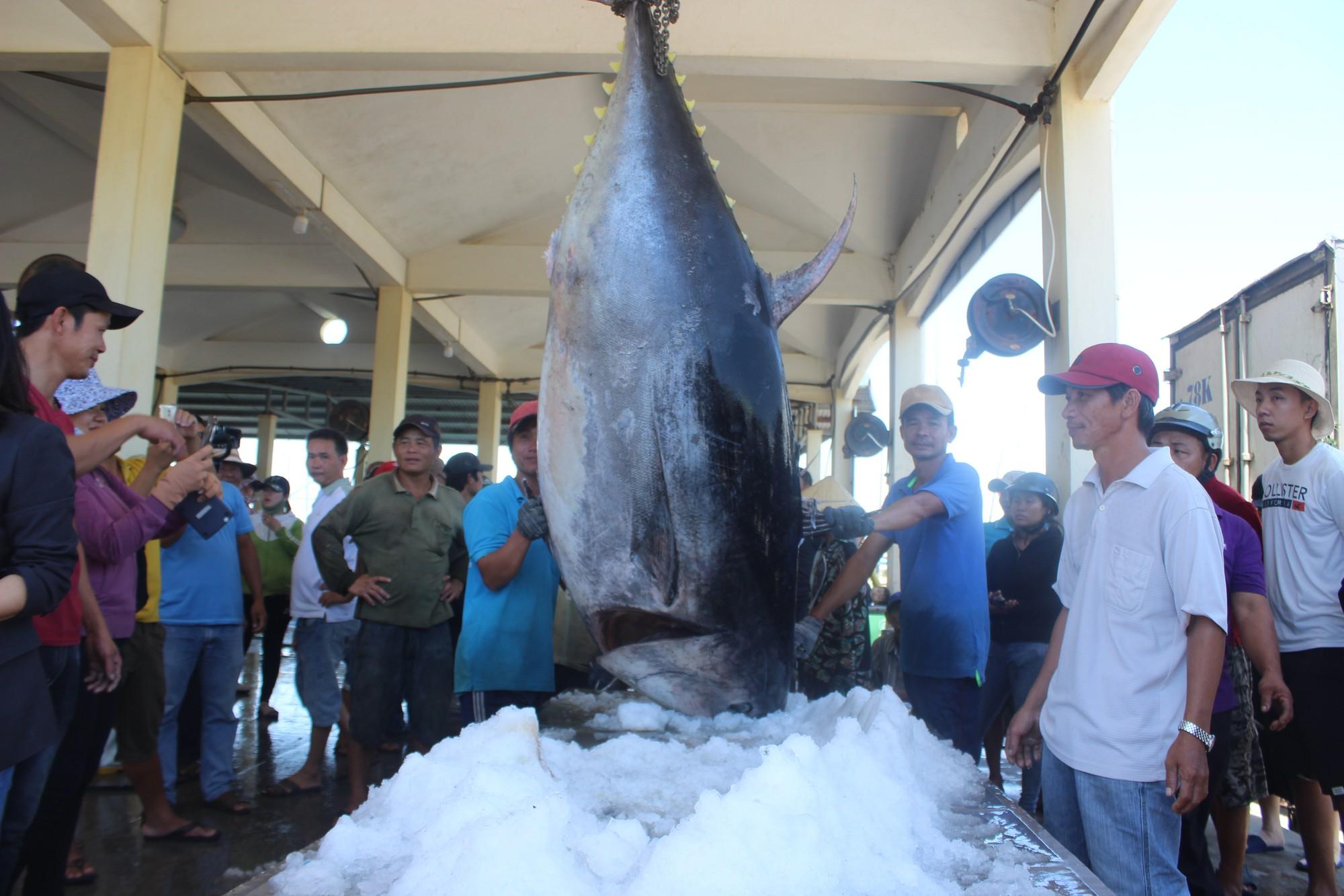 Ngư dân Phú Yên bắt được cá ngừ vây xanh lớn nhất Việt Nam - Ảnh 1.