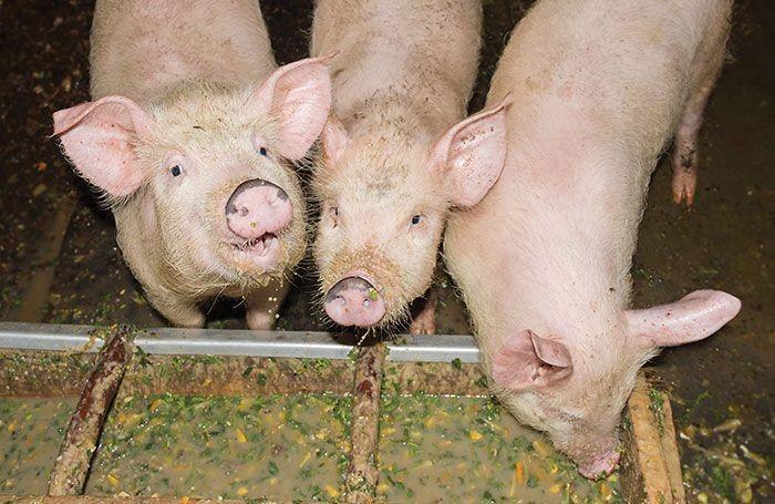Dự báo giá heo hơi ngày 23/5: Đồng Nai kêu gọi doanh nghiệp mua trữ thịt heo để bình ổn thị trường  - Ảnh 1.