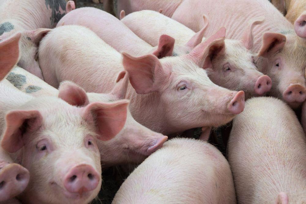 Dự báo giá heo hơi ngày 25/5: Cả trăm sạp bán thịt heo tại Thanh Hóa ngừng hoạt động - Ảnh 1.
