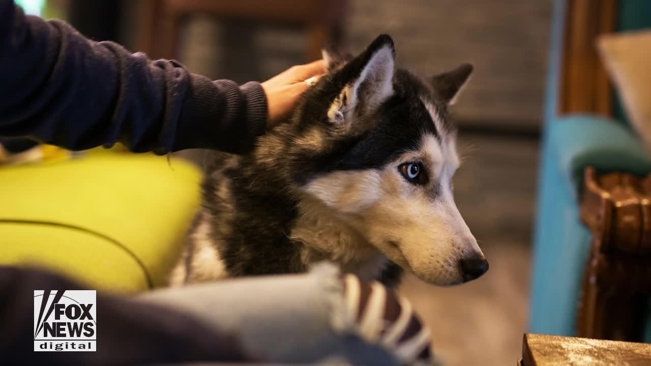 Chú chó Siberia Husky 3 lần phát hiện bệnh ung thư cứu sống chủ nhân của mình - Ảnh 1.