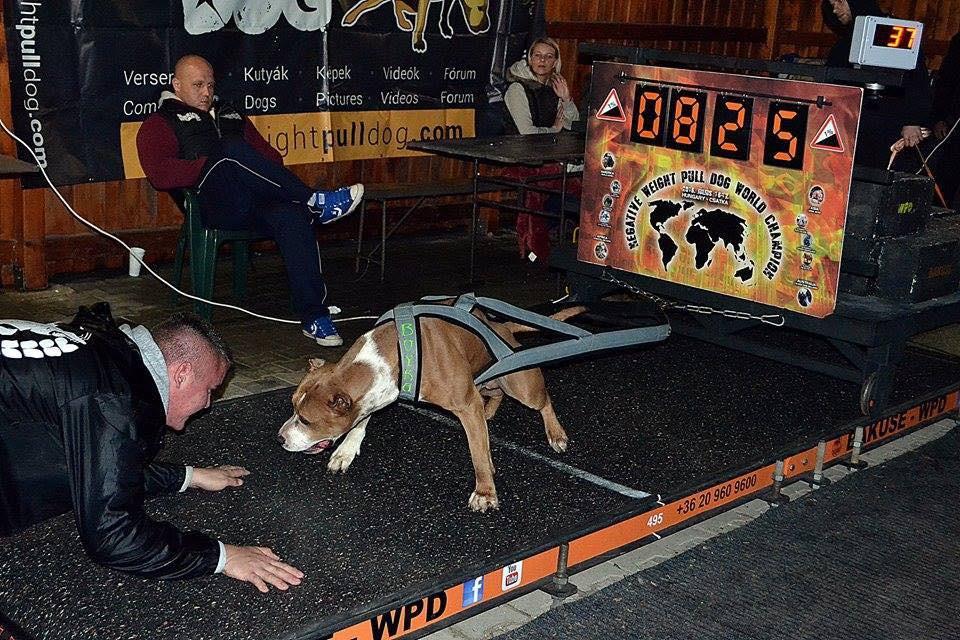 Môn thể thao thể hiện sức mạnh của chó gây tranh cãi - Ảnh 3.