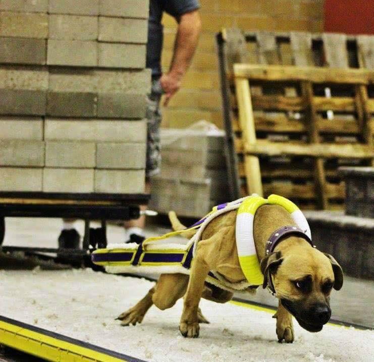 Môn thể thao thể hiện sức mạnh của chó gây tranh cãi - Ảnh 7.
