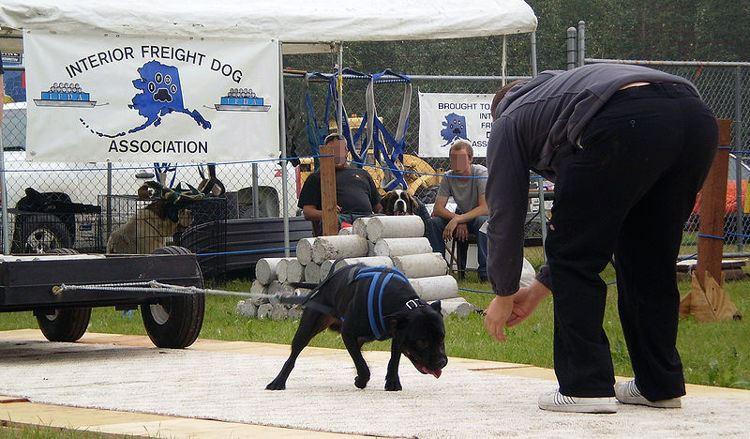 Môn thể thao thể hiện sức mạnh của chó gây tranh cãi - Ảnh 2.