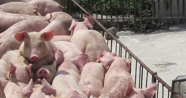 Dự báo giá heo hơi ngày 11/6: Quảng Ninh lên phương án đưa giống lợn quí ra đảo để bảo tồn - Ảnh 1.