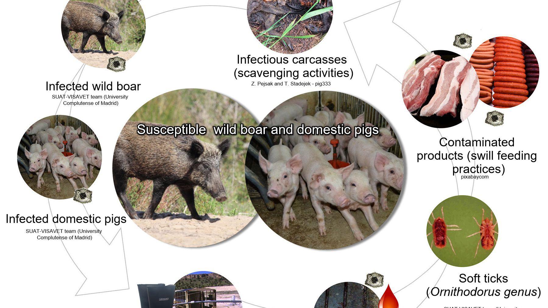 Hàn Quốc xây dựng hàng rào ngăn chặn nguy cơ lây lan của dịch tả heo Châu Phi - Ảnh 2.