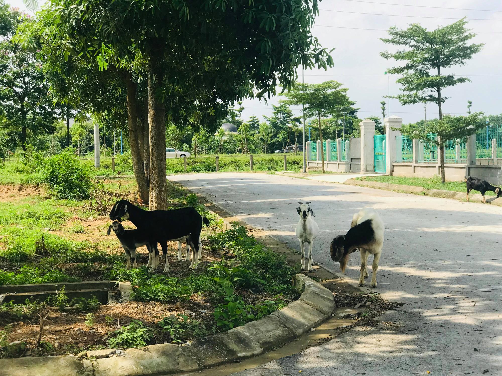 Dự án 900 tỉ đồng tại Mê Linh trở thành nơi chăn nuôi dê - Ảnh 2.