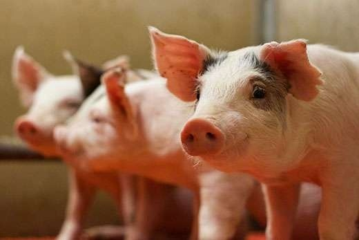 Dự báo giá heo hơi 9/6: Bắt xe chở thịt heo từ vùng dịch tả châu Phi đi tiêu thụ tại Hà Giang - Ảnh 1.