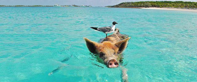Bãi biển thiên đường ở Curacao đông khách nhờ… hai chú lợn - Ảnh 4.