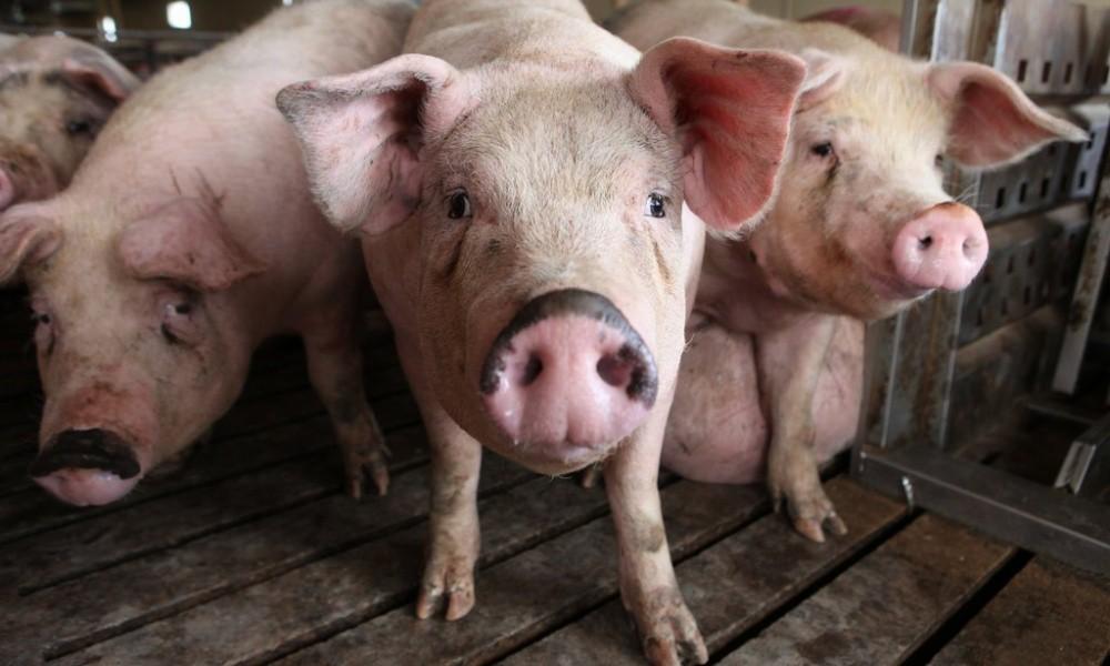 2113_PIGS-1-jumbo