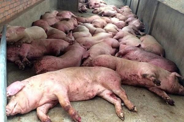 160 ngày chôn 3,3 triệu con lợn, hàng vạn hộ dân đau đớn - Ảnh 1.