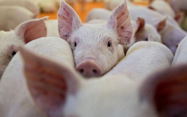 Giá heo hơi hôm nay 10/5: Chưa hạ nhiệt trên 93.000 đồng/kg, người chăn nuôi khó tái đàn - Ảnh 2.