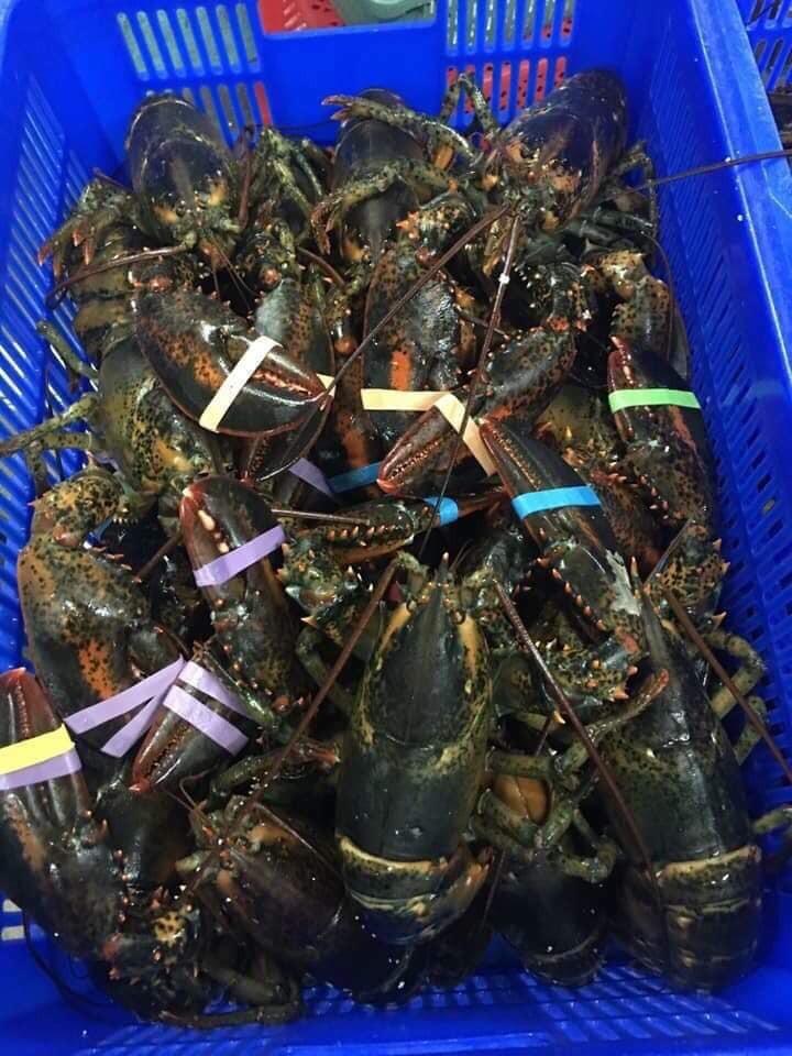 Tôm hùm Alaska về Việt Nam 170.000 đồng/kg, rẻ giật mình như tôm ngoài chợ - Ảnh 1.