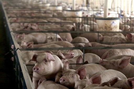 0120_pig_farm_ap