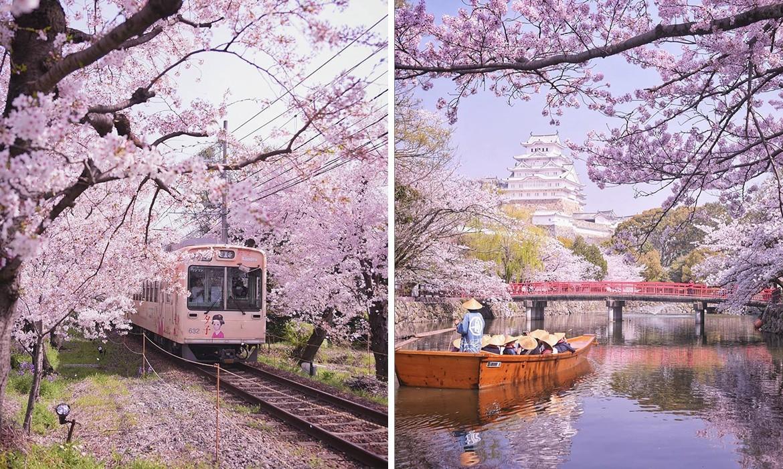cherry-blossom-season-japan-koji-thumb-large