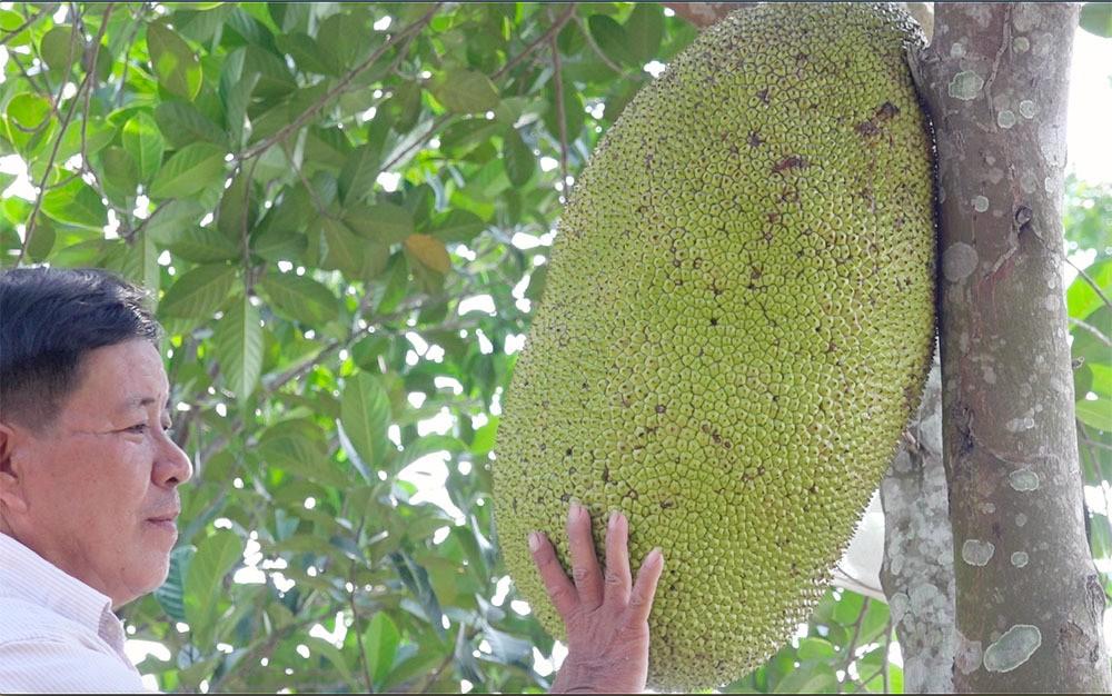 Giống mít kỳ lạ ở miền Tây, quả nặng 40 kg, múi to khổng lồ - Ảnh 2.