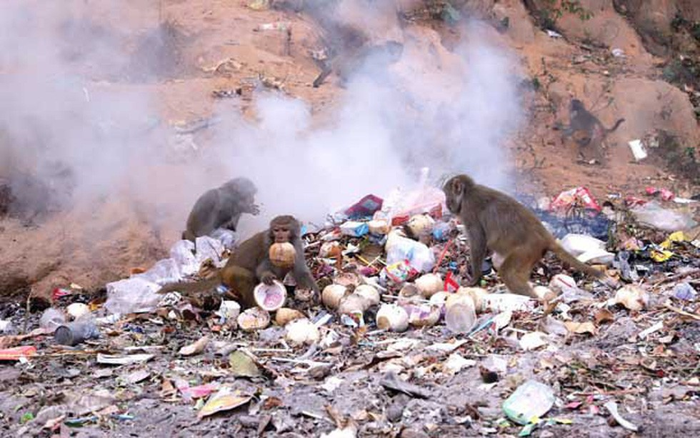 Khi khỉ Sơn Trà ăn rác - Ảnh 1.