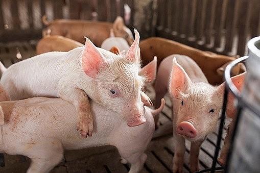Giá heo hơi hôm nay 23/3: Người chăn nuôi lãi đậm khi giá heo neo trên 85.000 đồng/kg - Ảnh 2.