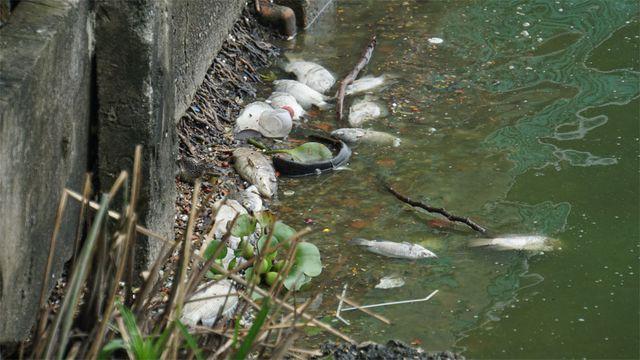 Cá chết nổi bốc mùi hôi thối ở Hồ Tây, hồ Đắc Di - Ảnh 10.