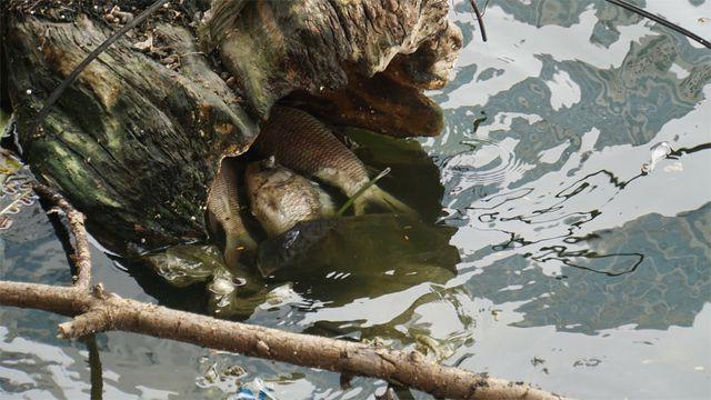 Cá chết nổi bốc mùi hôi thối ở Hồ Tây, hồ Đắc Di - Ảnh 3.
