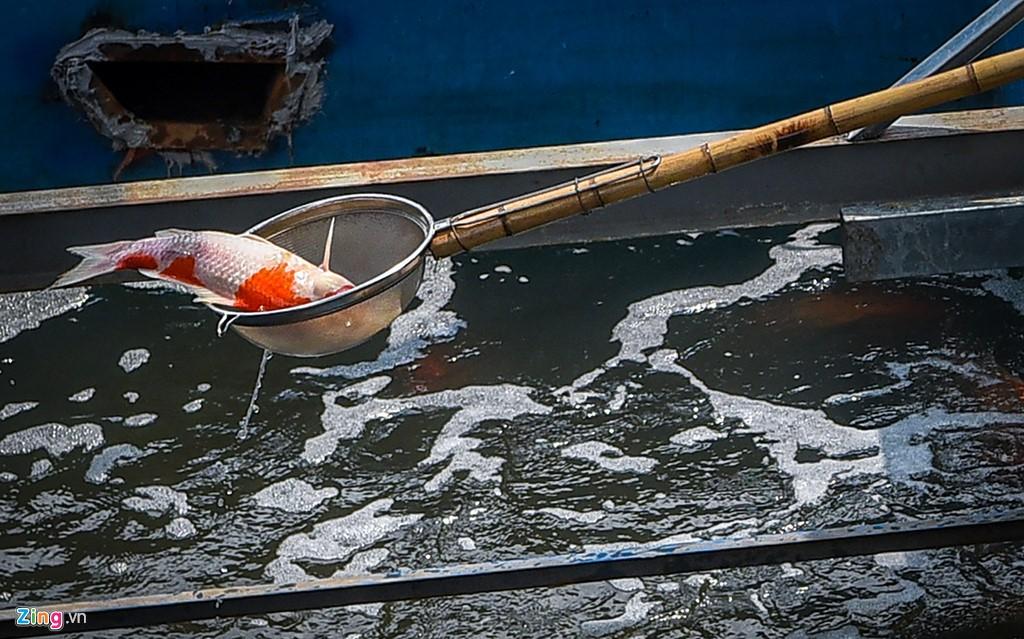 Cá Koi lờ đờ, chết ngửa bụng sau 2 ngày ở bể xử lí nước sông Tô Lịch - Ảnh 1.