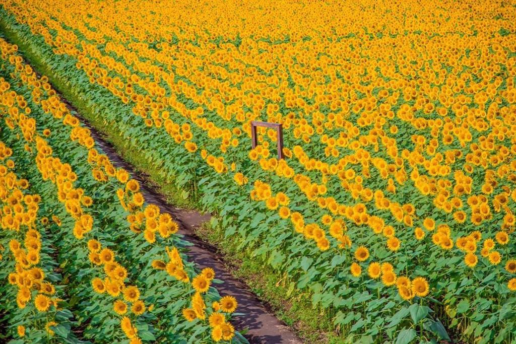 Đồng hoa hướng dương triệu bông ở Nhật đẹp như tranh vào mùa thu - Ảnh 1.