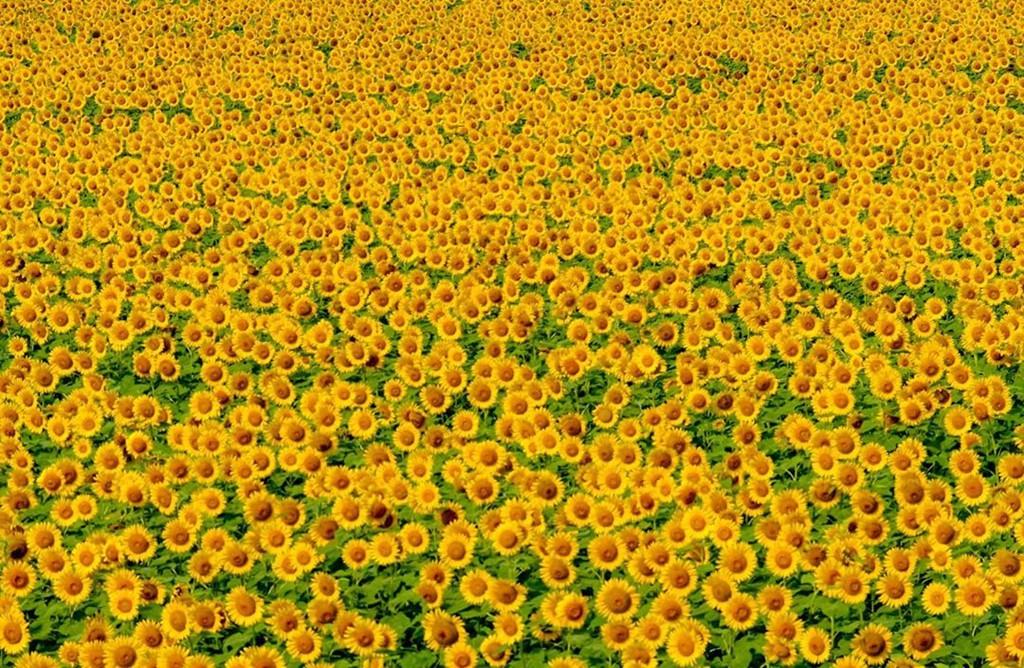 Đồng hoa hướng dương triệu bông ở Nhật đẹp như tranh vào mùa thu - Ảnh 7.