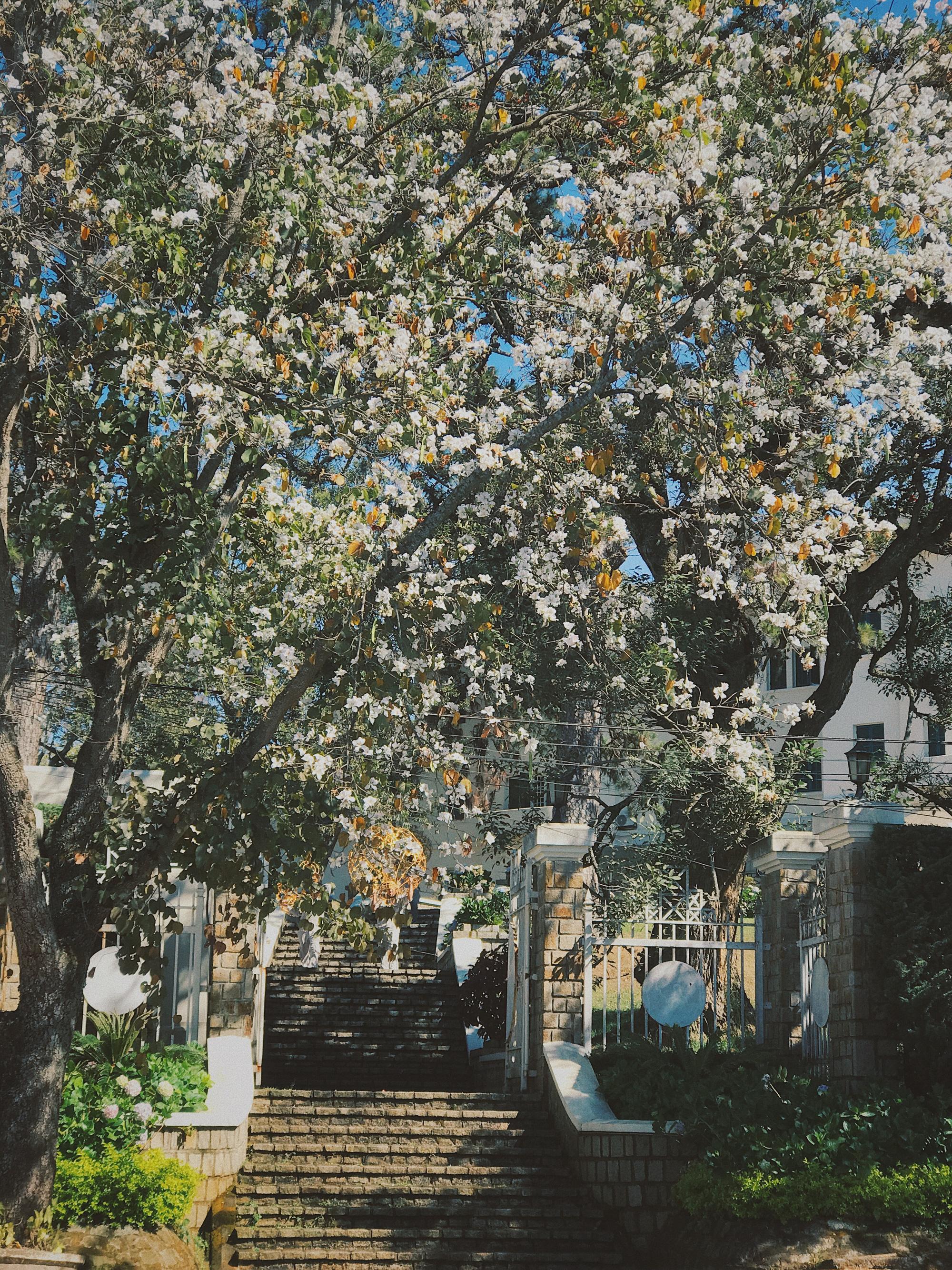 Hoa ban nhuộm trắng những góc phố Đà Lạt ngày cận Tết Nguyên đán - Ảnh 5.