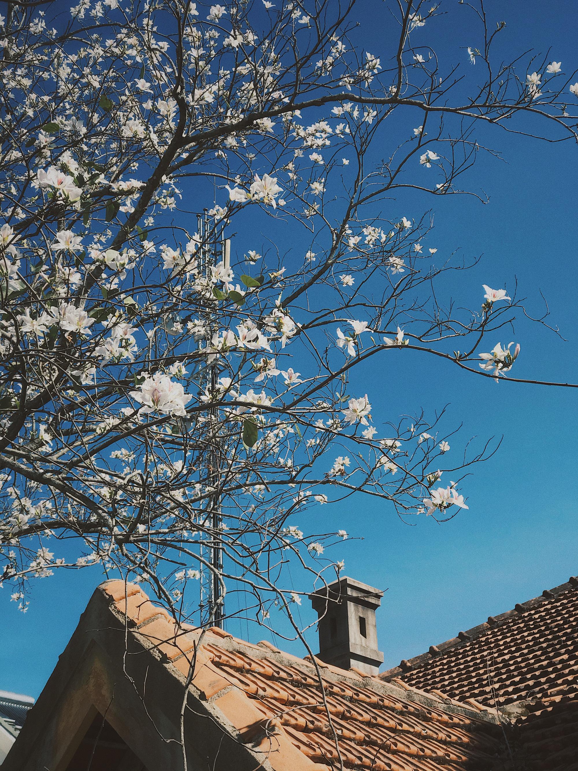Hoa ban nhuộm trắng những góc phố Đà Lạt ngày cận Tết Nguyên đán - Ảnh 1.
