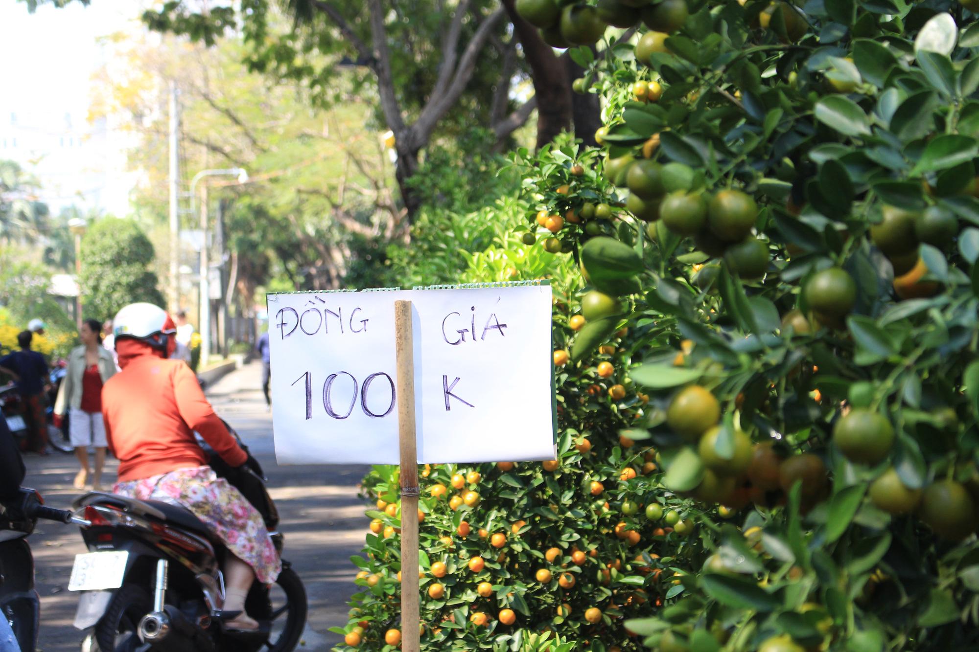 Mai, đào, tắc tiền triệu tại chợ hoa Sài Gòn ngóng người mua, có nhà vườn treo biển đồng giá 100.000 đồng mỗi chậu - Ảnh 9.