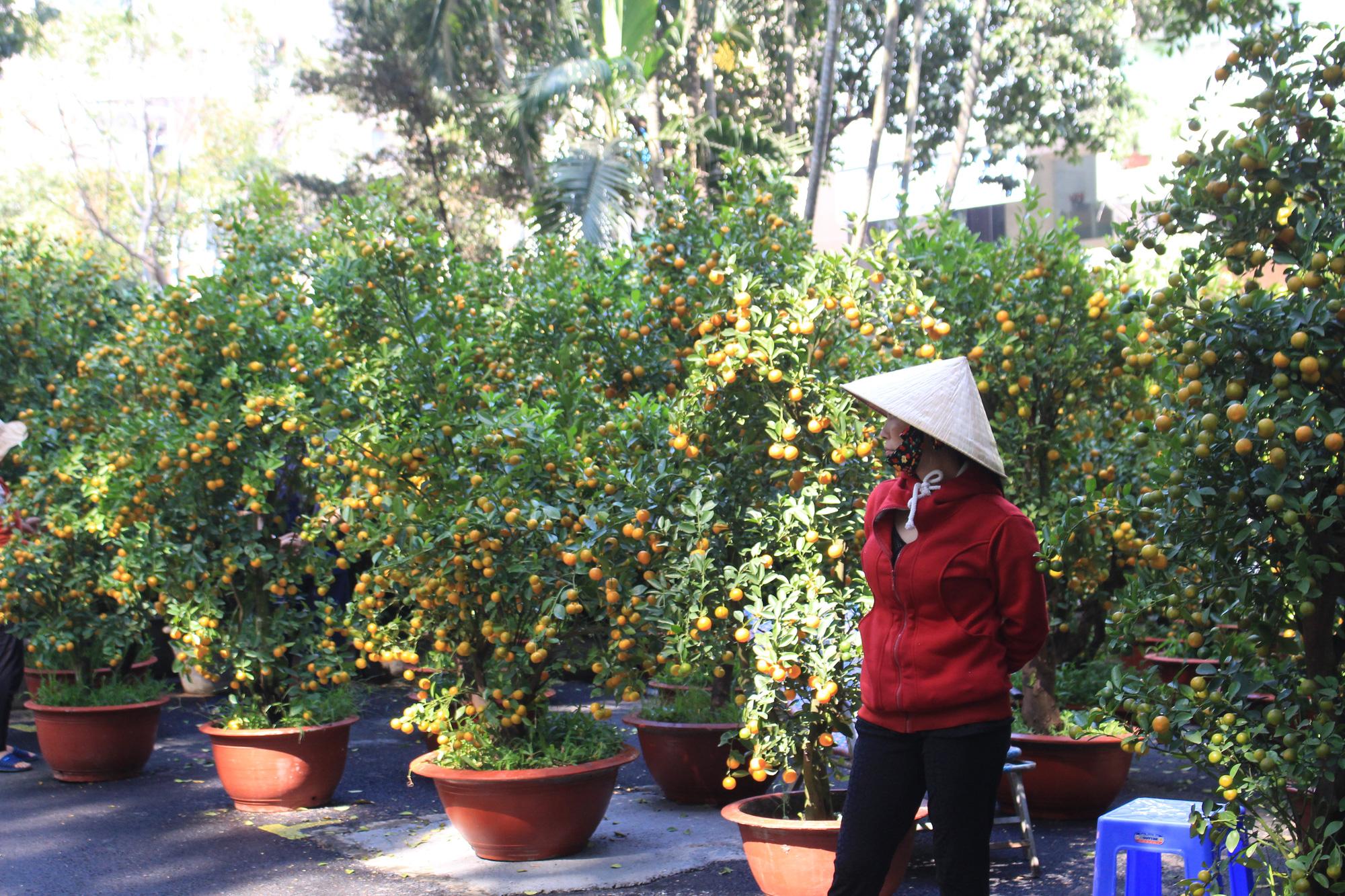 Mai, đào, tắc tiền triệu tại chợ hoa Sài Gòn ngóng người mua, có nhà vườn treo biển đồng giá 100.000 đồng mỗi chậu - Ảnh 8.