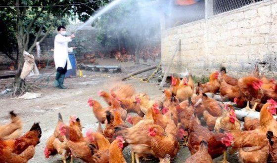 Cúm A/H5N6 trở lại, lệnh cấm bán tháo gia cầm ở vùng dịch - Ảnh 2.