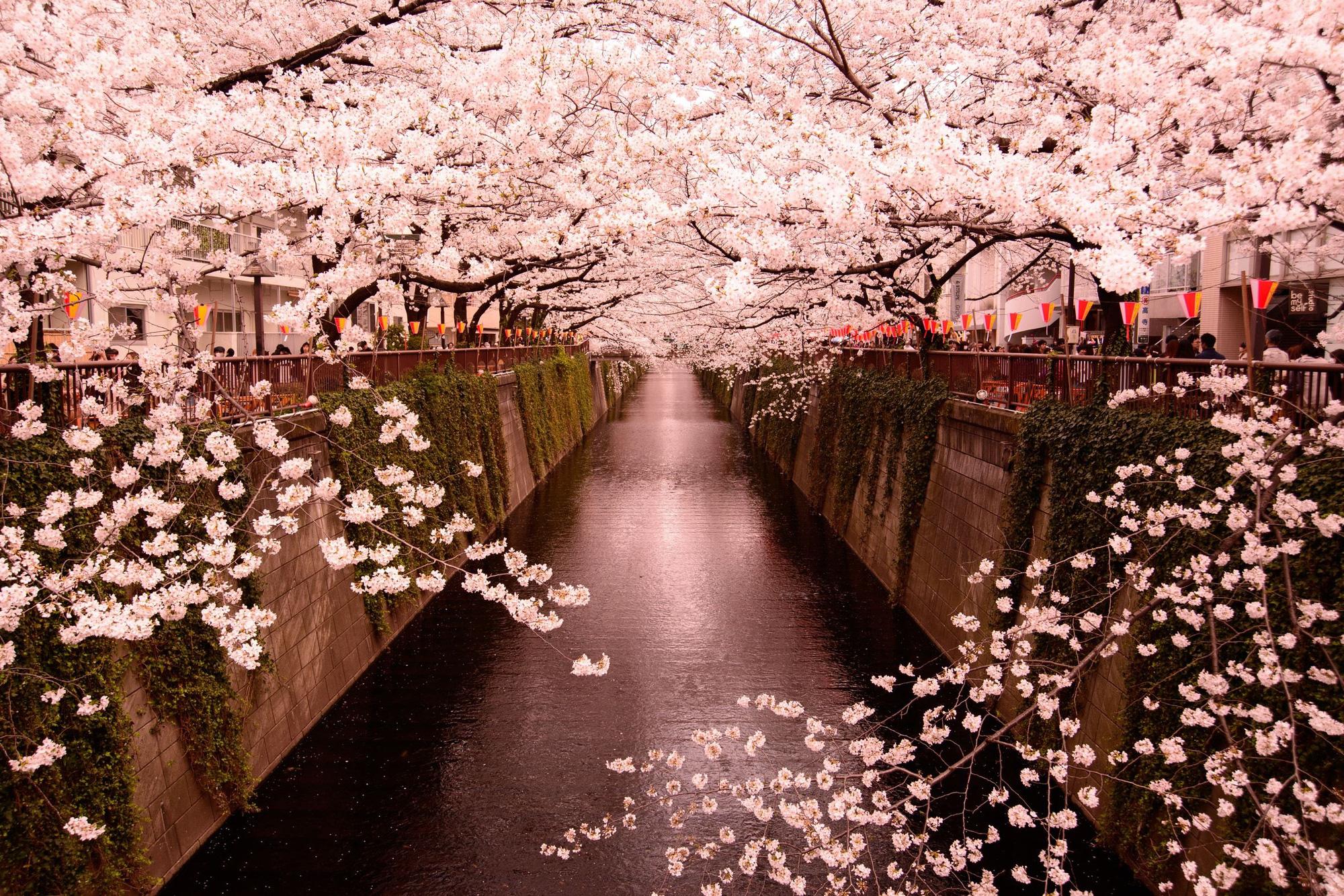 Những địa điểm đẹp để ngắm hoa anh đào tại châu Á 2020 - Ảnh 5.