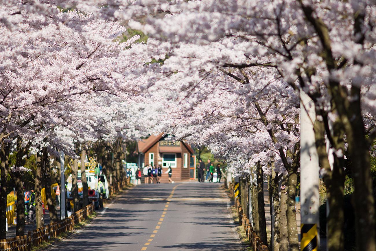 Những địa điểm đẹp để ngắm hoa anh đào tại châu Á 2020 - Ảnh 6.