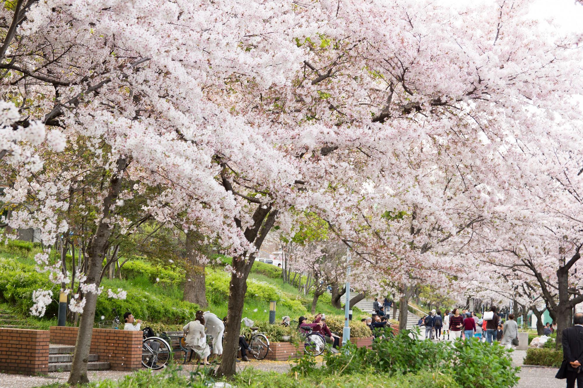 Những địa điểm đẹp để ngắm hoa anh đào tại châu Á 2020 - Ảnh 2.