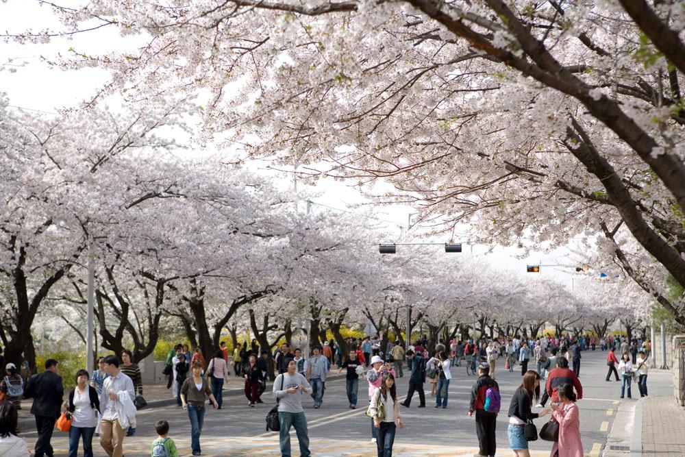 Những địa điểm đẹp để ngắm hoa anh đào tại châu Á 2020 - Ảnh 1.