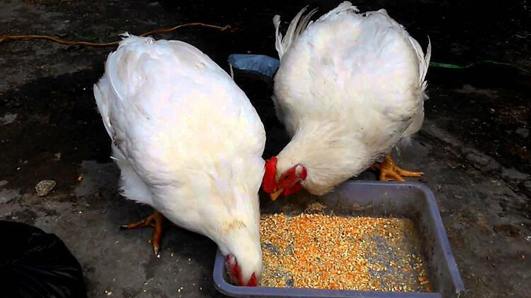 Giá gà rẻ hơn rau vẫn khó tiêu thụ - Ảnh 1.