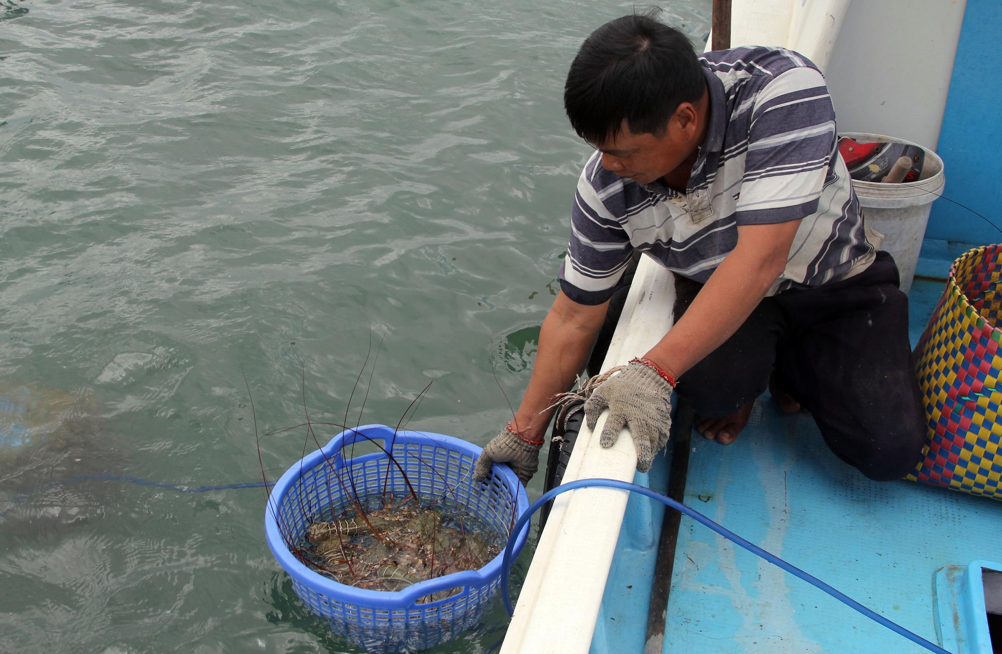 Sự thật về giá tôm hùm ở Phú Yên chỉ 200.000 đồng/kg - Ảnh 3.