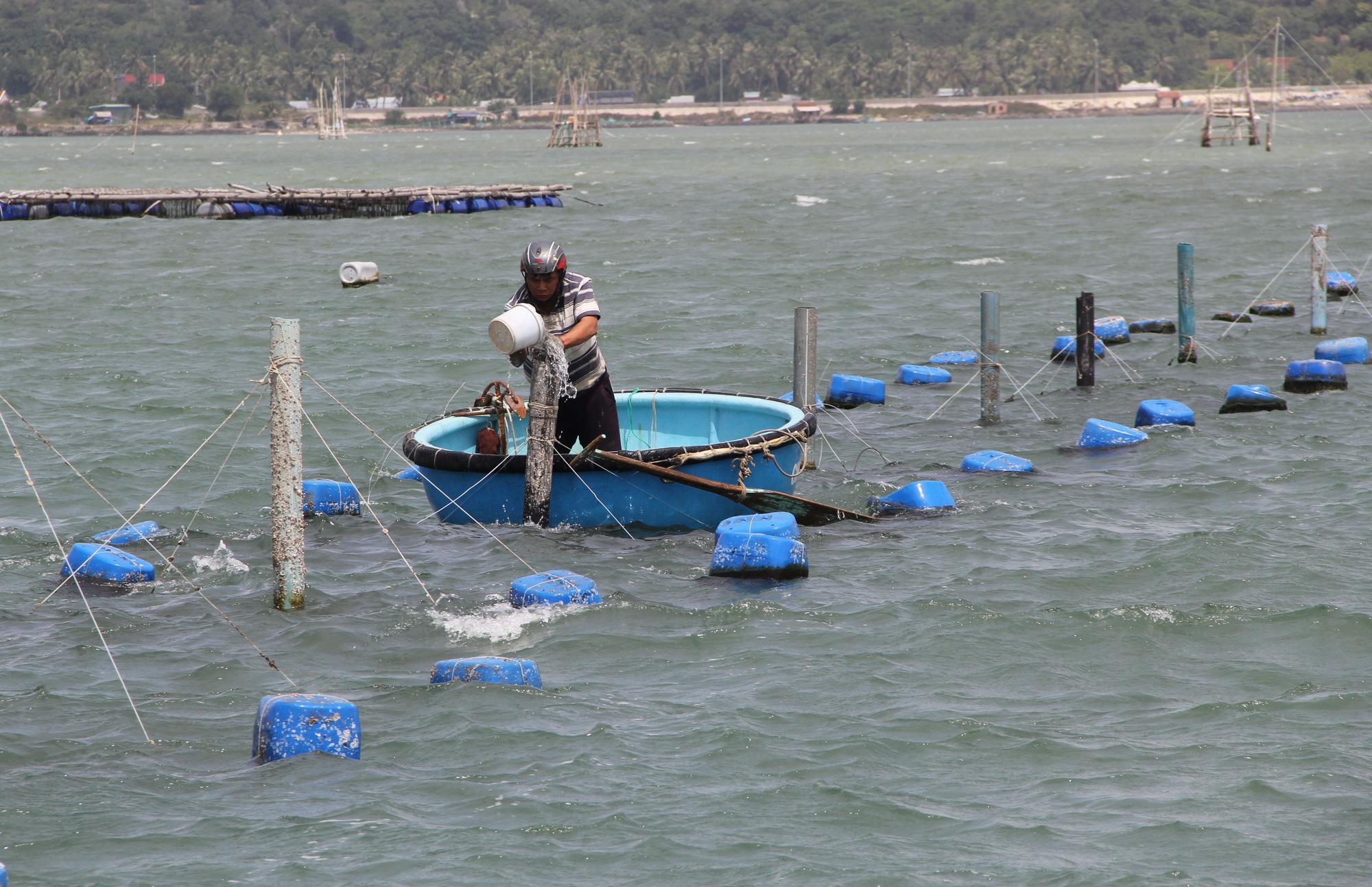 Sự thật về giá tôm hùm ở Phú Yên chỉ 200.000 đồng/kg - Ảnh 7.
