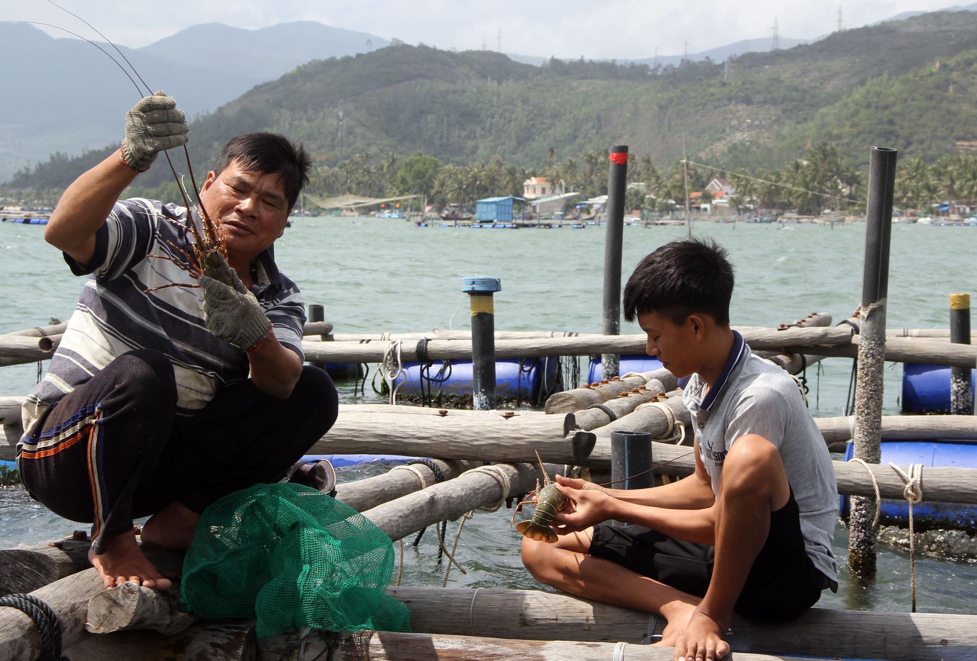 Sự thật về giá tôm hùm ở Phú Yên chỉ 200.000 đồng/kg - Ảnh 5.