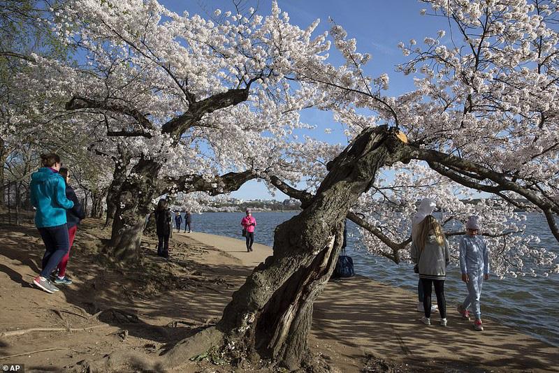 Bất chấp dịch corona, hàng trăm người vẫn đổ về Washington DC để ngắm hoa anh đào - Ảnh 10.