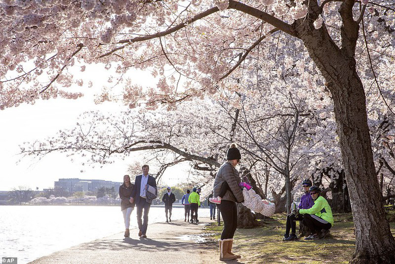 Bất chấp dịch corona, hàng trăm người vẫn đổ về Washington DC để ngắm hoa anh đào - Ảnh 1.