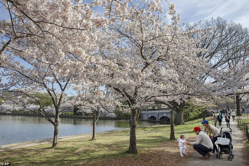Bất chấp dịch corona, hàng trăm người vẫn đổ về Washington DC để ngắm hoa anh đào - Ảnh 4.