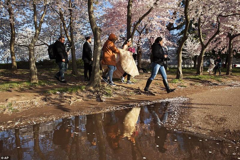 Bất chấp dịch corona, hàng trăm người vẫn đổ về Washington DC để ngắm hoa anh đào - Ảnh 3.