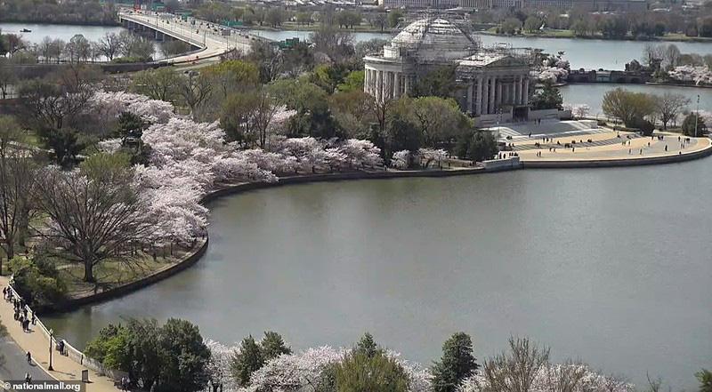 Bất chấp dịch corona, hàng trăm người vẫn đổ về Washington DC để ngắm hoa anh đào - Ảnh 9.