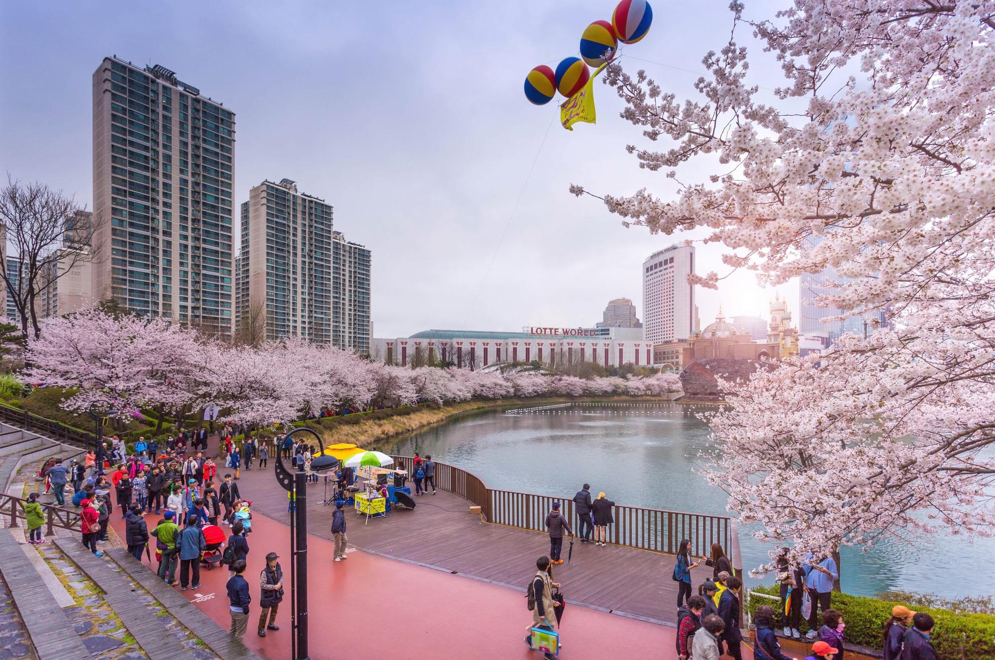 Hàn Quốc hủy lễ hội hoa anh đào vì dịch Covid-19 - Ảnh 1.
