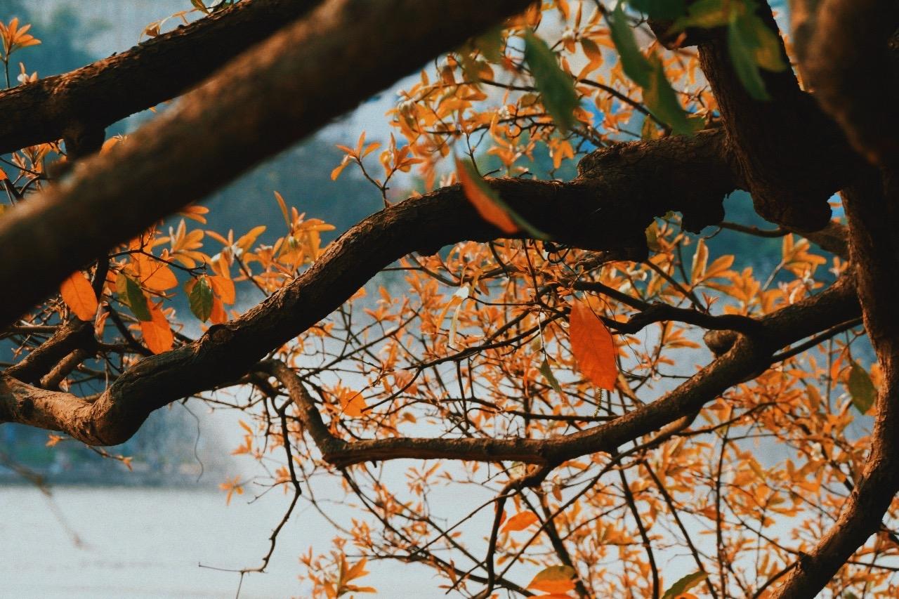 Hồ Gươm rực rỡ mùa lộc vừng thay lá